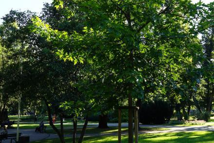 LNB ozols Vērmanes dārzā